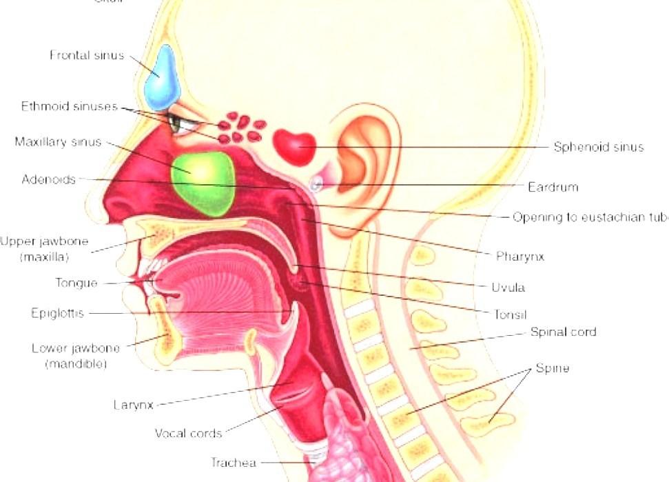 Throat human throat ccuart Images
