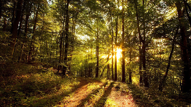 Sun inside the forest wallpaper