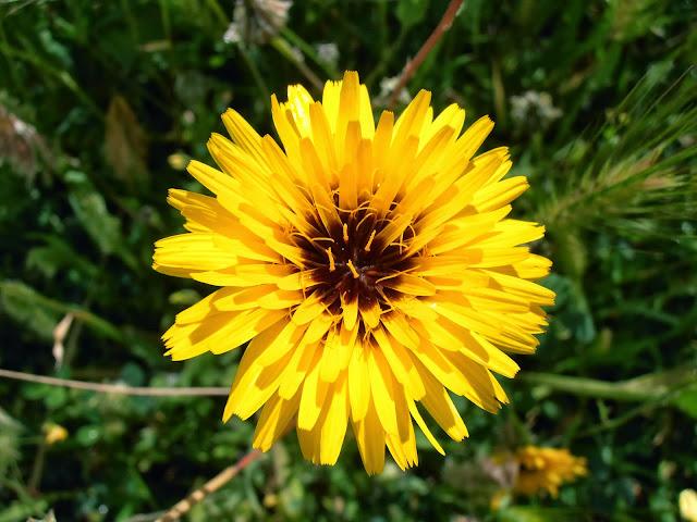 Flor de CERRAJA BORDE: Reichardia tingitana