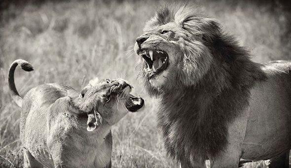 лев рычит на львицу
