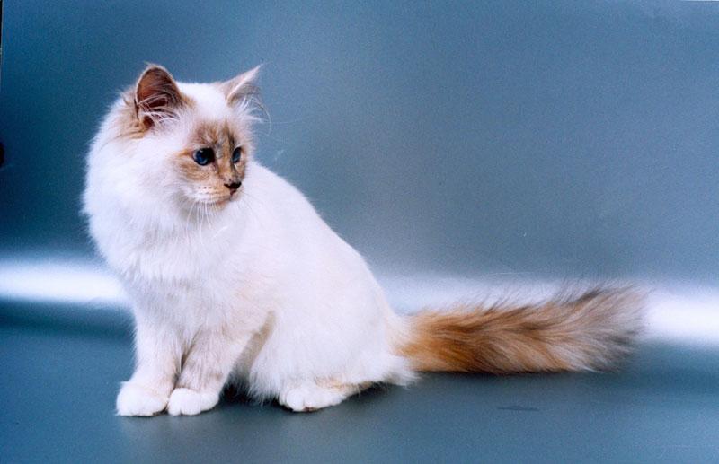 Бірманська кішка sacred cat of burma