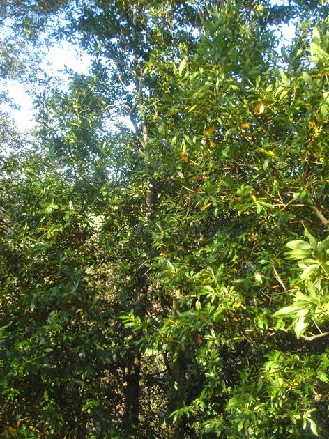 Laureles en el jardín