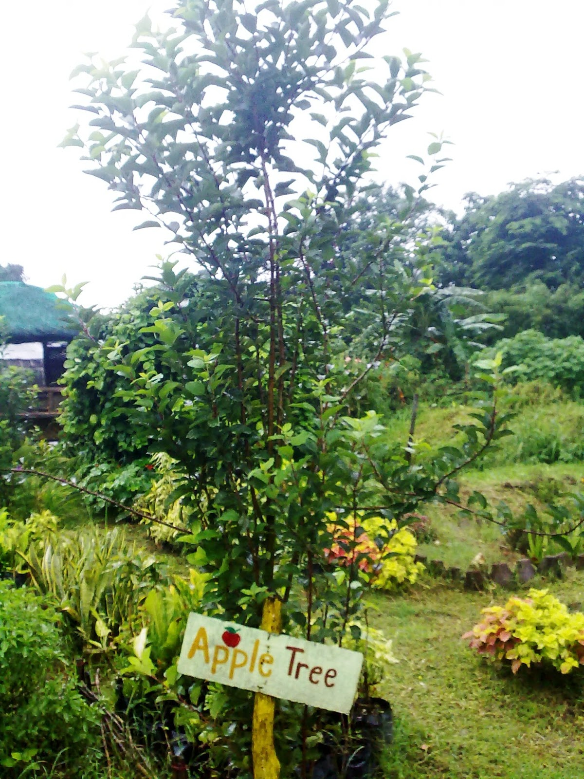 It39s Really My World Apple Tree In The Philippines