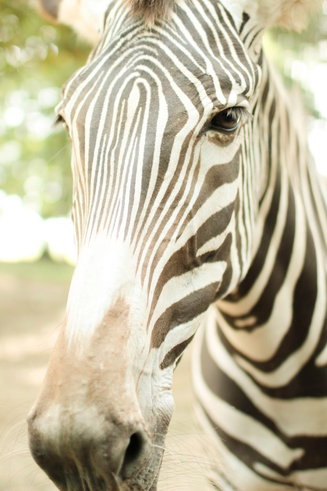 Anna Dusek Photography Zebra