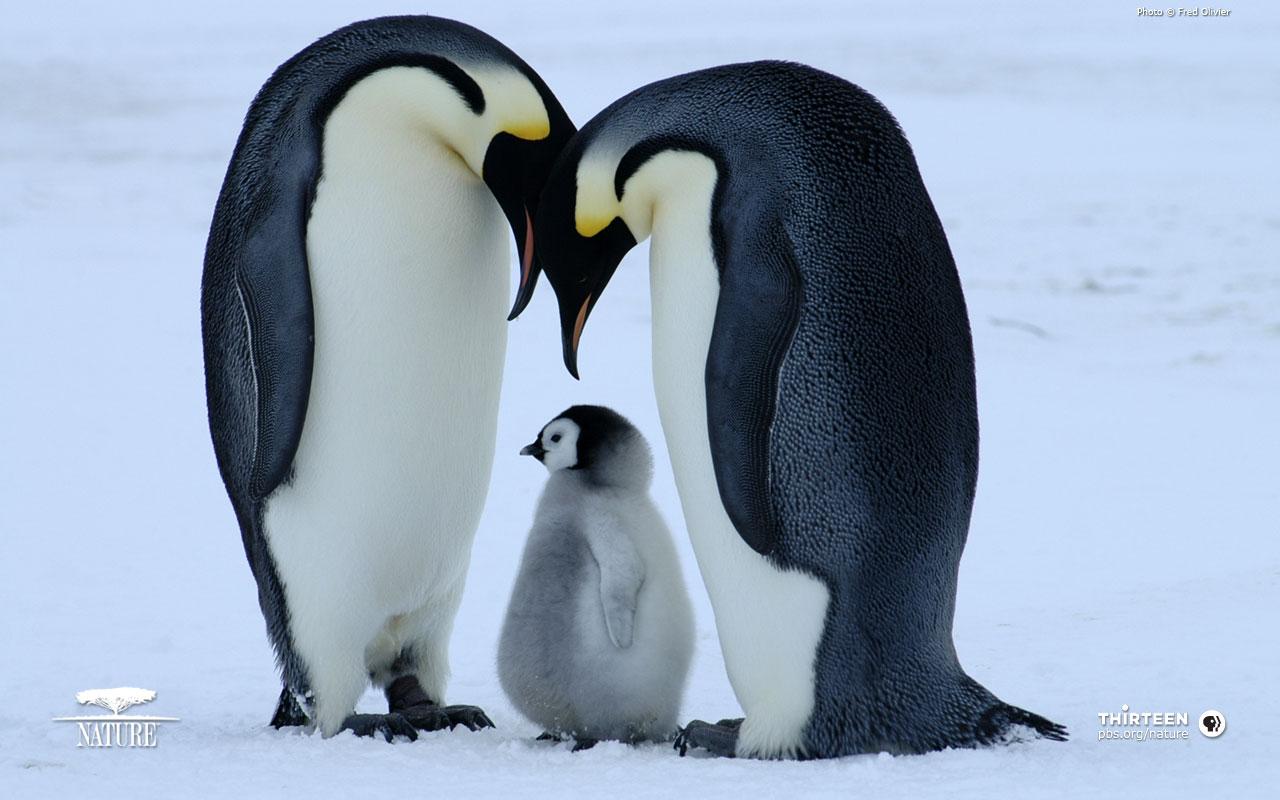http://2.bp.blogspot.com/-TCVxv-oMRKQ/TqXm87D4QBI/AAAAAAAABp0/PQ-Odo-z0Aw/s1600/bornwild_penguin_baby.jpg