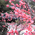 Die Pflaumen blühen - が咲く