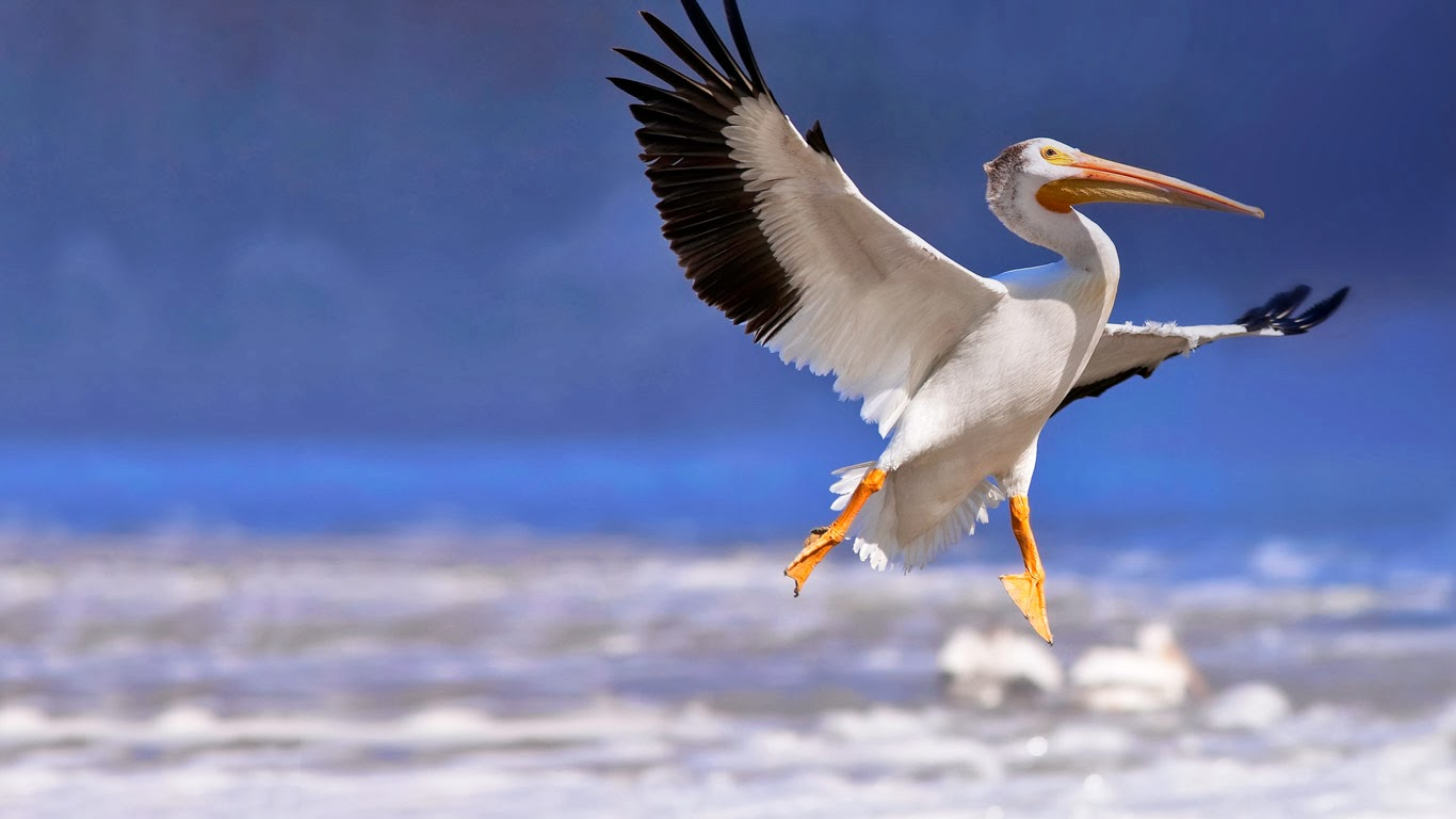 American white pelican in flight, Red River, Lockport, Manitoba, Canada (© Ken Gillespie/Corbis) 335