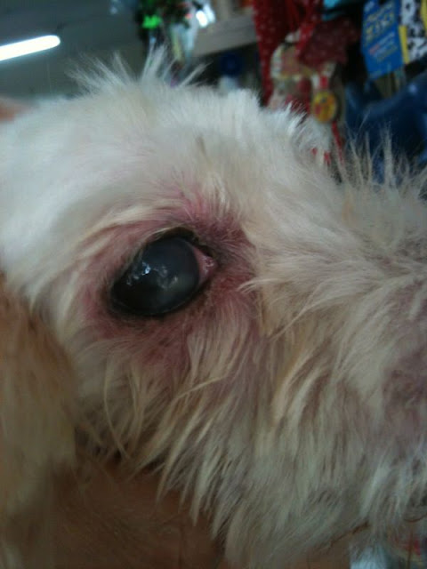 Is It Safe To Put Eye Drops In Dogs Eyes