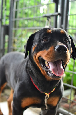 temperament of Rottweiler