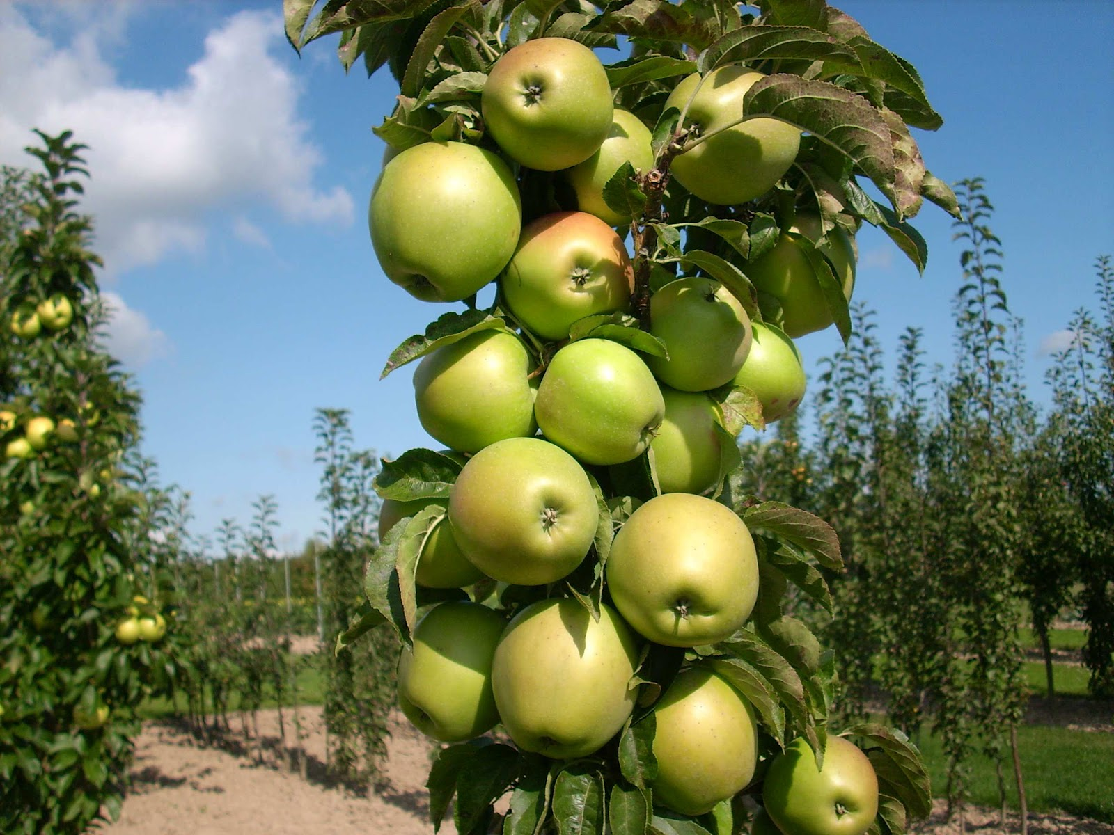 Plant preview columnar urban apples part of edible landscaping - Planting fruit trees in the fall a garden full of vigor ...