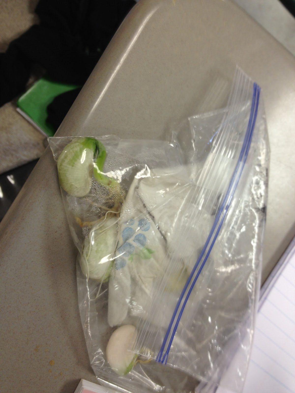 how to grow seeds in a baggie