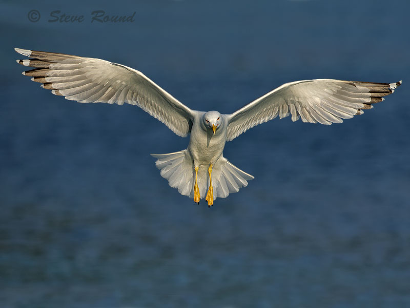 yellow-legged gull, gull, seagull, sea gull