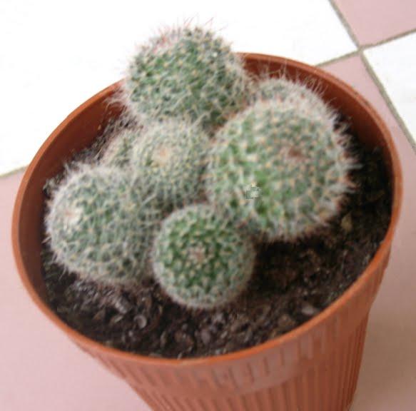 Mammillaria..... ?