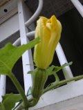 Aboboreira no muro de casa - 12-12-2012