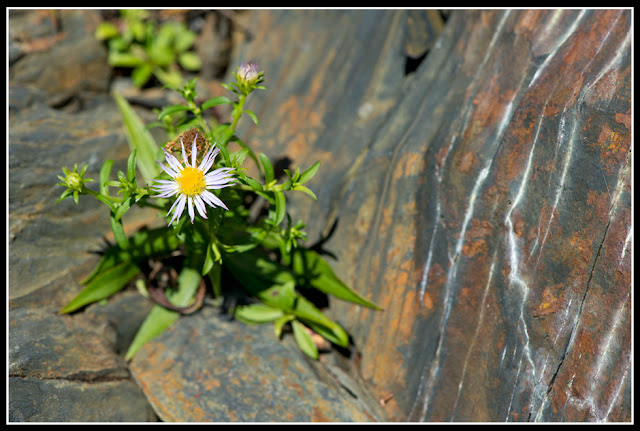Nova Scotia; Gaff Point; Flower