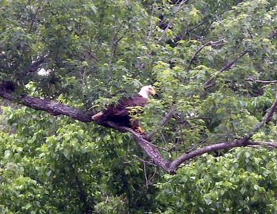 Bald Eagle Buffalo River National Park Arkansas Gilbert Bird