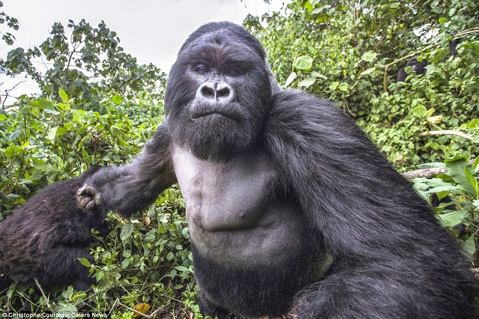 He really is king of the swingers! Photographer gets a rumble in the jungle when he's clobbered by 30-stone gorilla