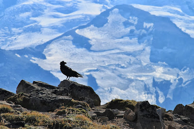 Burroughs Mountain Raven