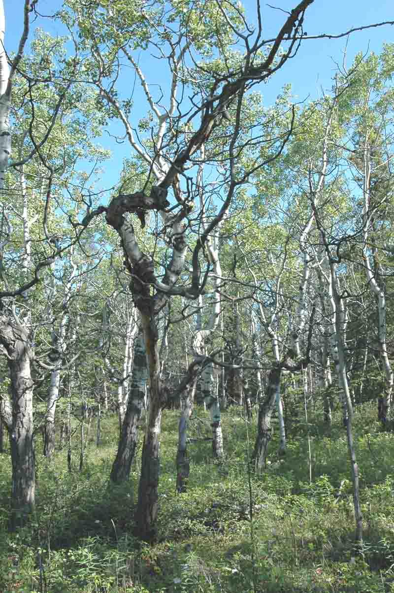 White Poplar Tree