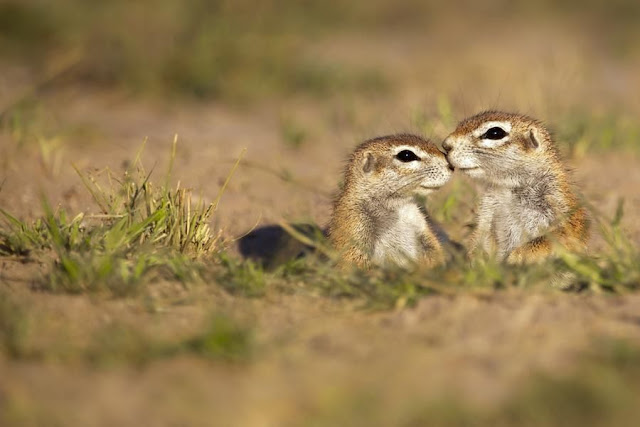 funny animal pictures, baby meerkats
