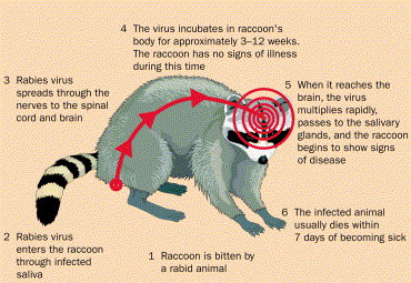Infection Landscapes: Rabies Raccoon With Rabies Foaming