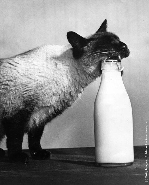 Сиамская кошка пытается открыть бутылку молока, чтобы добраться до сливок. (5 февраля 1957 г.)