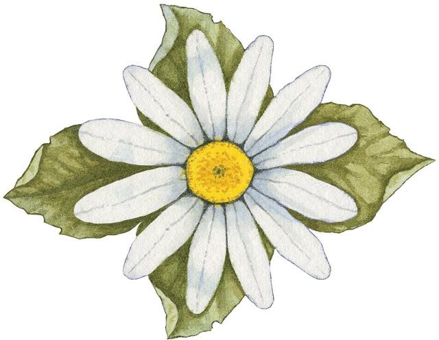 Imagenes de margarita blanca