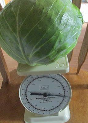 Cabbage on a scale