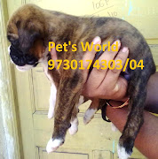 PET'S WORLD BRINDLE COLOR BOXER PUPPIES FOR SALE IN PUNE