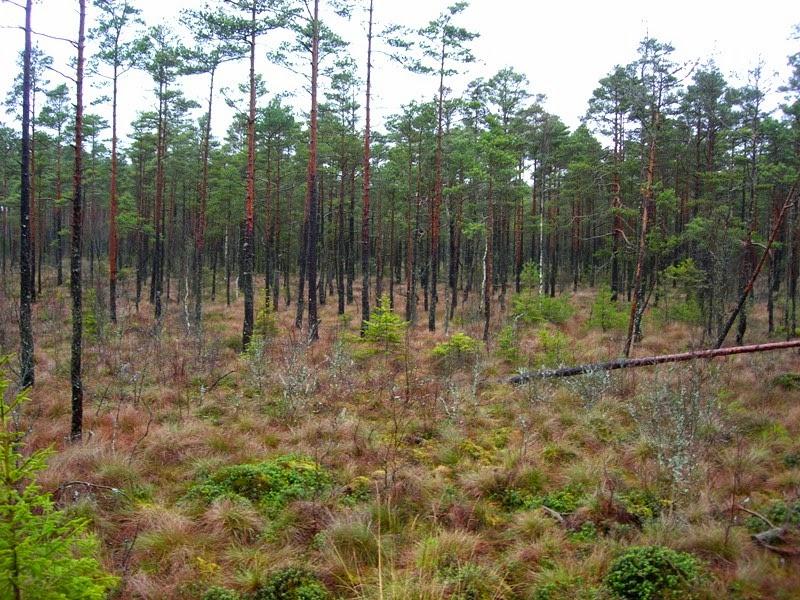 Torbiera di pini silvestri