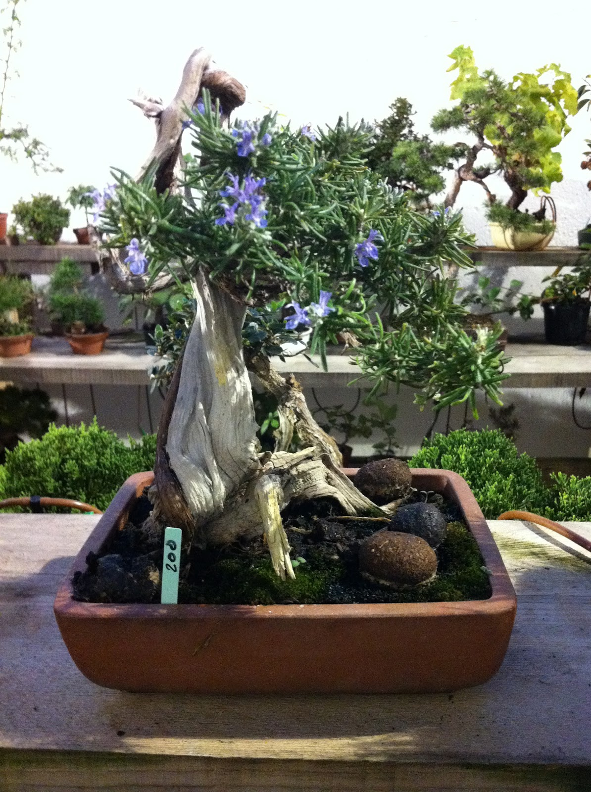 Nostromo bonsai venta romeros for Bonsai vendo