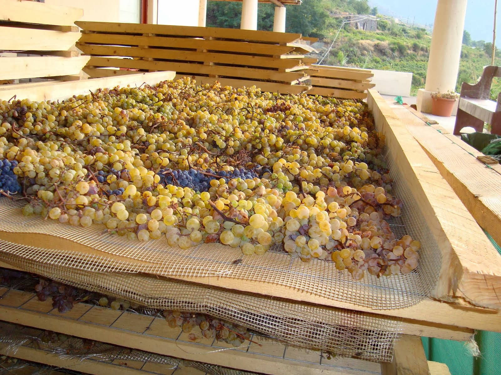 Malvasia on the drying racks