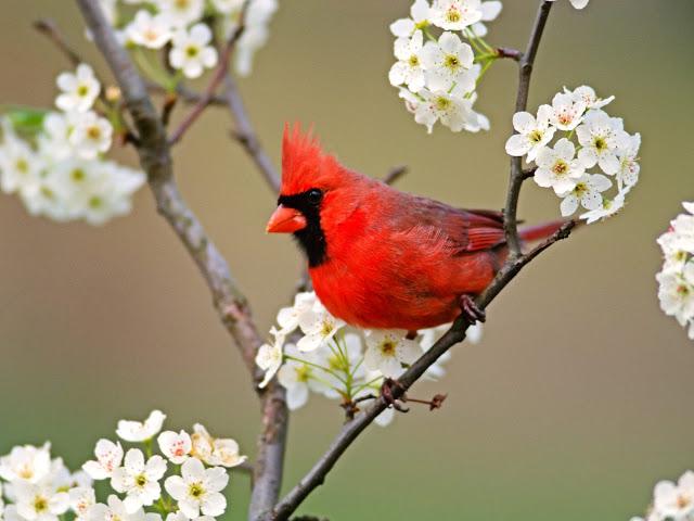 Cardinal among pear tree blossoms Wallpaper