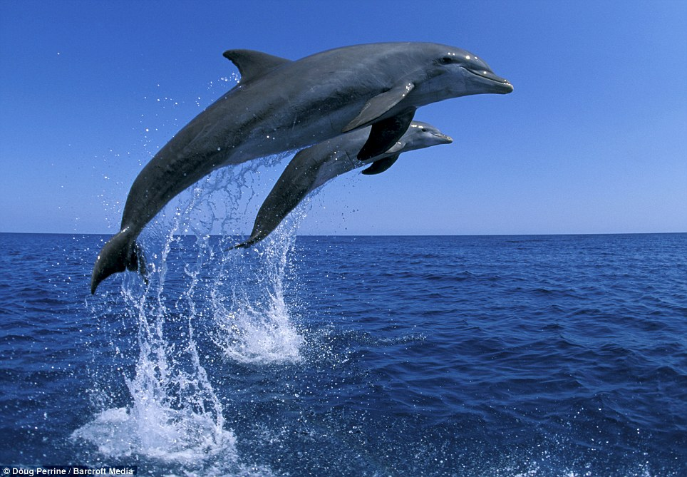 30 Best Cool Hd Pictures Of Dolphins Wallpapers And
