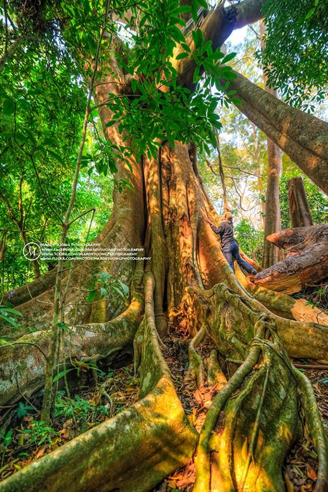 Chrey Yos forest tree-Mondulkiri province