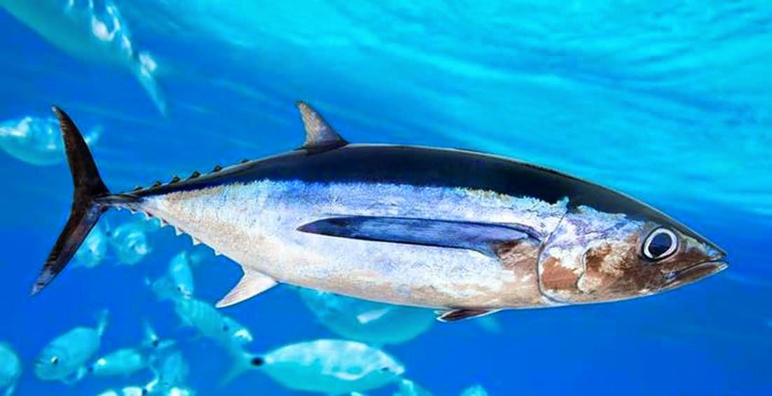 Ikan tuna Manfaat Minyak Ikan untuk Ibu Hamil dan Bayi