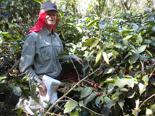 Voluntiring a coffee farm