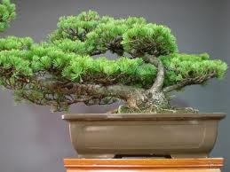 Cara, merawat, Bonsai, Juniperus, Rigida, Juniperus rigida, merawat bonsai