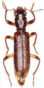 Una nueva especie de insecto aparece en Murcia y Castilla-La Mancha
