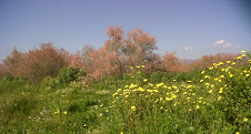 Floraison de tamaris