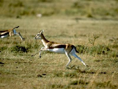 gazelle running