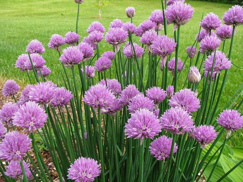 Tumbuhan kucai (chives) yang berbunga ungu