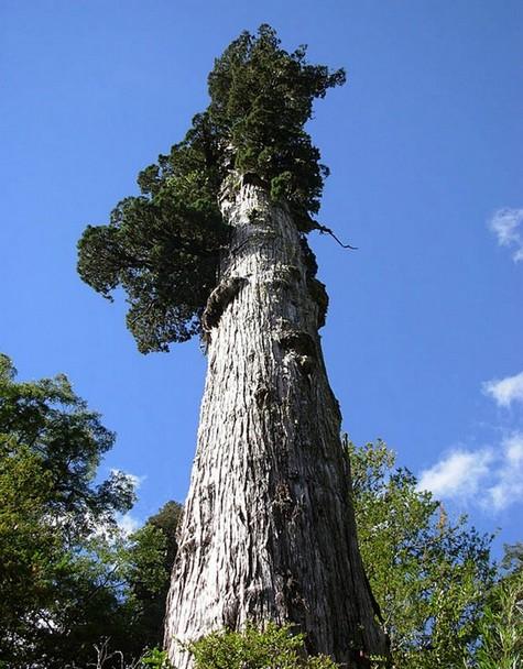 7 Pohon Tertua Di Dunia - Trends7Media