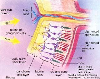 esquema de la retina, retine scheme