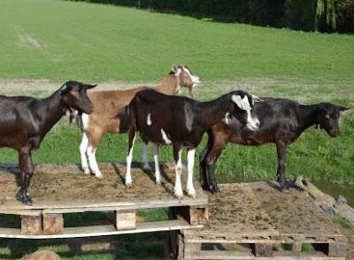 kambing dewasa