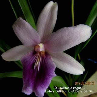 Miltonia orquídea epífita com ocorrência restrita no Brasil