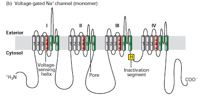ionic mechanism propagation of action The mechanism of the generation of an action potential is rather complex in  nature and is associated with both activation of ion channels (ca2+, cl–, and k+)  and  action potential generation higher plants propagation variation potential.