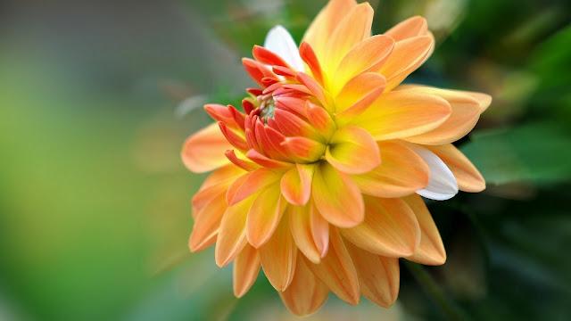 Flor Dahlia o Dalia Amarilla