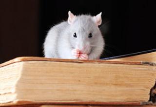 Cara Alami Mengusir Tikus
