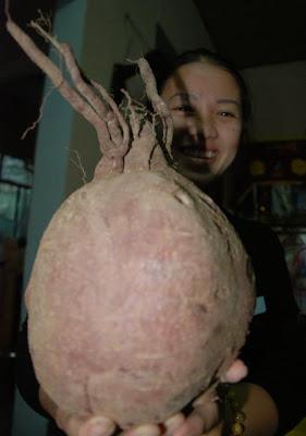 Củ khoai lang to nhất thế giới tại Đà Nẵng